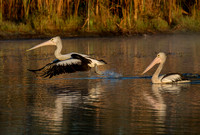 Pelicans taking off, Tygum Lagoon