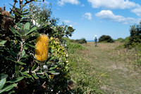 Banksia Flowers, Shelly Head