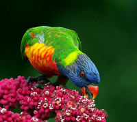 Rainbow Lorikeet in Umbrella Tree