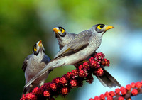 Group of Noisy Miners