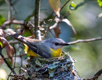 Eastern Yellow Robin at Nest, Lamington National Park