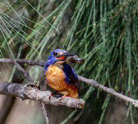 Azure Kingfisher with Crayfish