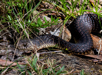 Snake on the River Walk, Gloucester Tops, Barringtop Tops National Park