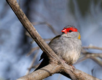 Red-browed Finch, Eagleby