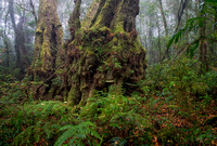 Antarctic Beech, Albert River Circuit