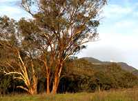 Trees in afternoon light, Warrumbungle National Park