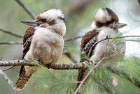 Kookaburras, Blackdown Tableland
