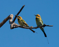 Rainbow Bee-eaters, Bundjalung National Park