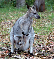 Wallaby with Young