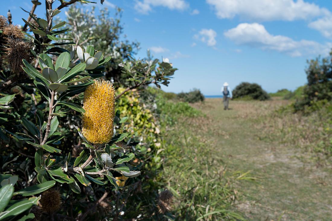 Banksia Flowers, Shelly Head