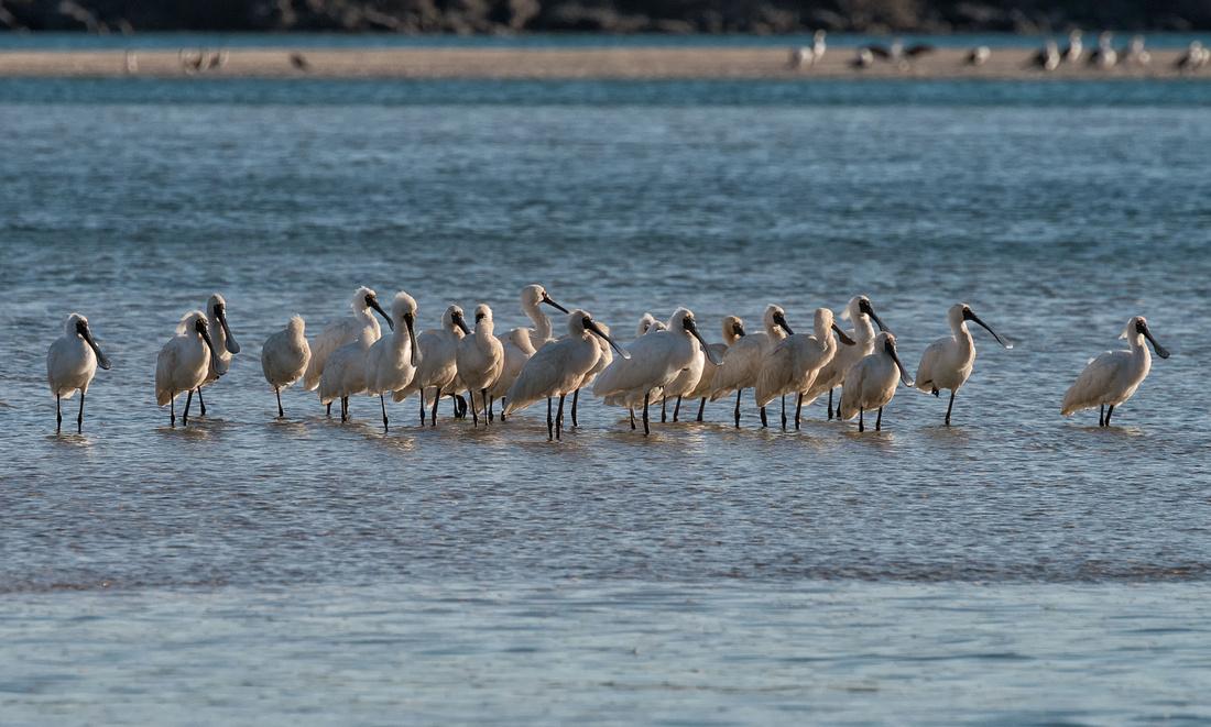 Royal Spoonbills at Sandon River