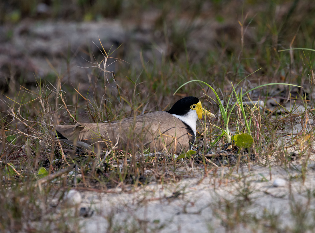 Masked Lapwing on Nest, Illaroo campground