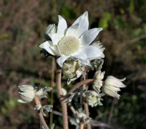 Flannel Flower beside the track