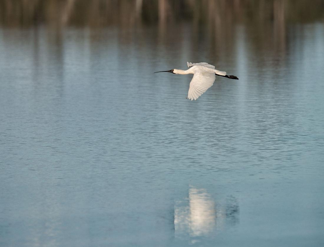 Spoonbill in Flight, Lake Broadwater