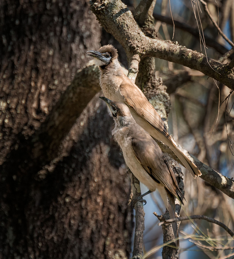 Little Friarbird, Lake Broadwater