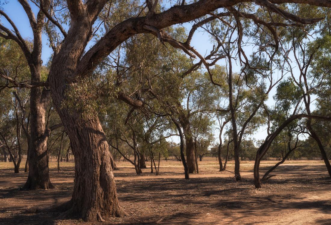 Trees beside the Warrego River, Charleville