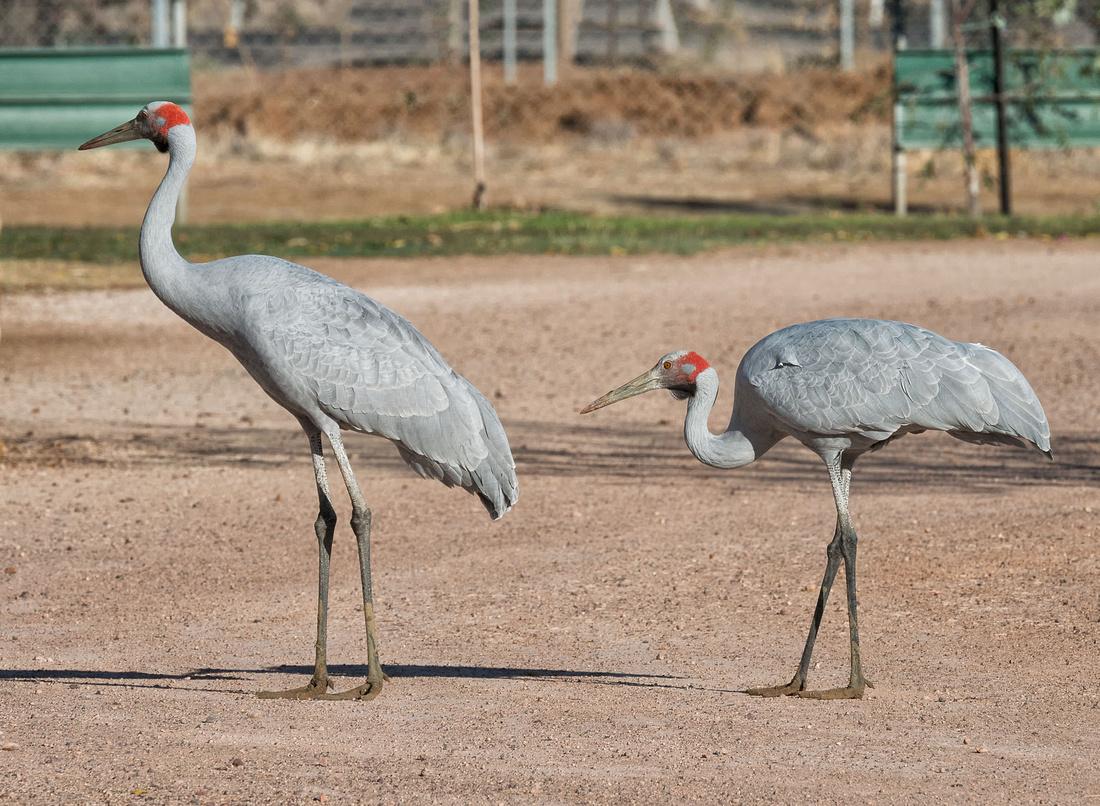 Brolgas visit the Caravan Park