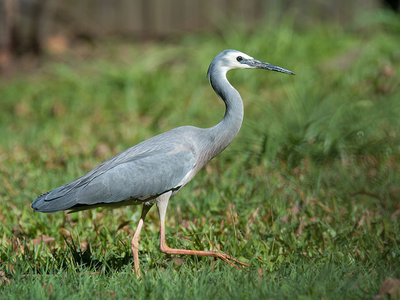 White-faced Heron visits our backyard