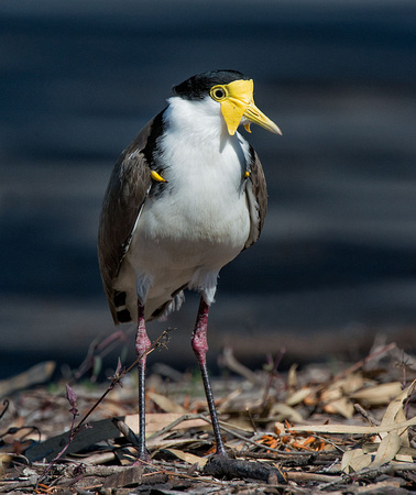 Spur-winged Plover (Masked Lapwing)