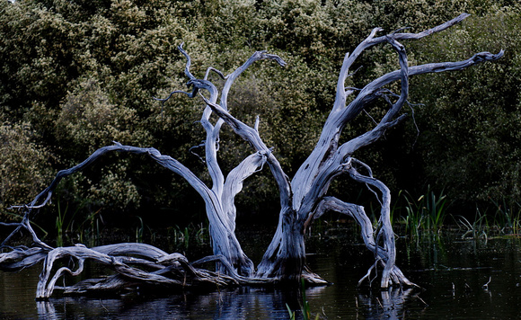 Skeletal Trees, Bool Lagoon, South Australia