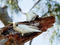Sulphur-crested Cockatoos at Broken Tree Branch