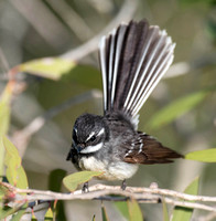 Grey Fantail, Tygum Park, Waterford