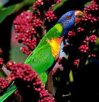 Rainbow Lorikeets in Umbrella Tree