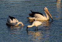 Pelicans and Spoonbill