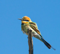 Rainbow Bee-eater, Bundjalung National Park