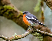 Flame Robin, New England National Park