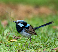Superb Fairy Wren, Gloucester River Campground, Barrington Tops National Park