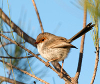 Superb Fairy-wren, female