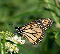 Monarch Butterfly, Eagleby